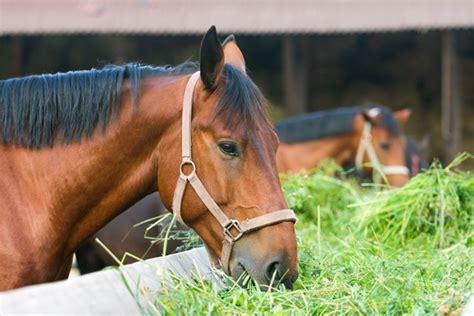 hay horse horses alfalfa eating oats equine diet horseback riding palm forage west really beach feeds hi pro nutrition ph