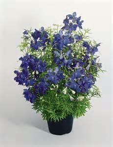 delphinium flower delphinium grandiflorum summer nights perennial benary