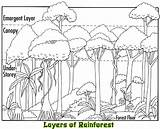 Rainforest Layers Coloring Animals Plants Facts Canopy Layer Tropical Habitat Trees Emergent Forest Activities Sketch Clip Rain Tedlillyfanclub Drawings Jungle sketch template