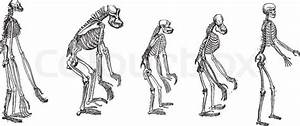 The Comparison Of Greatest Apes Skeletons With Human