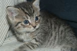 gray tabby cat adorable grey brown stripy tabby kitten for