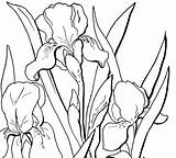 Coloring Adult Floral Flowers Pages Iris Flower Fairy Drawings Drawing Printables Printable Outline Irises Line Thegraphicsfairy Clip Watercolor Graphics Draw sketch template