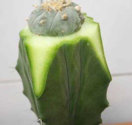 budidaya kaktus hias mini teknik grafting