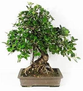 Comment Tailler Un Ficus : comment tailler bonsai ficus retusa gite pompadour lubersac ~ Melissatoandfro.com Idées de Décoration