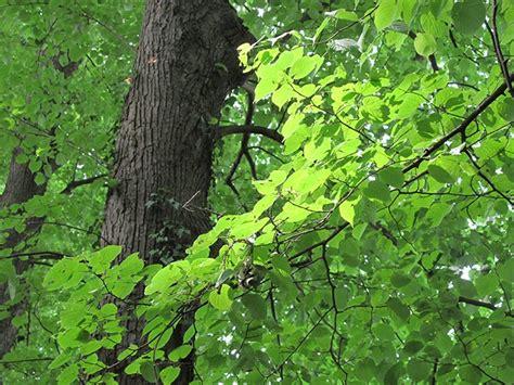 bäume als sichtschutz ein landwirt hat 30 st 195 164 dtische b 195 164 ume gef 195 164 llt foto schneider