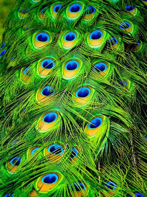 Best 25+ Peacock Pictures Ideas On Pinterest Indian