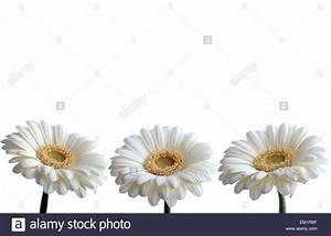 White daisy border Stock Photo, Royalty Free Image ...