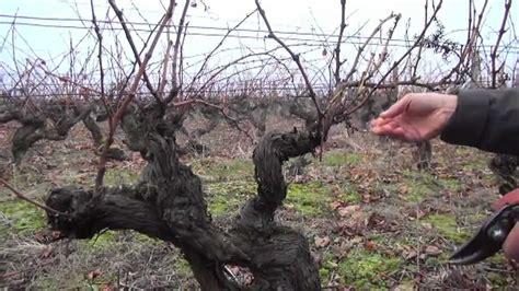 chambre agriculture loire taille de la vigne apres le gel taille en baguette