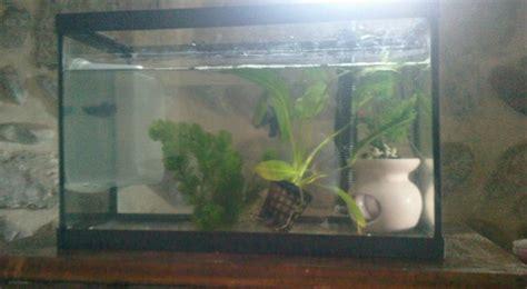 reproduction poisson combattant vite aquariums et vivariums forum animaux