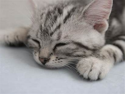 American Shorthair Cat Gato Wirehair Australia Grey