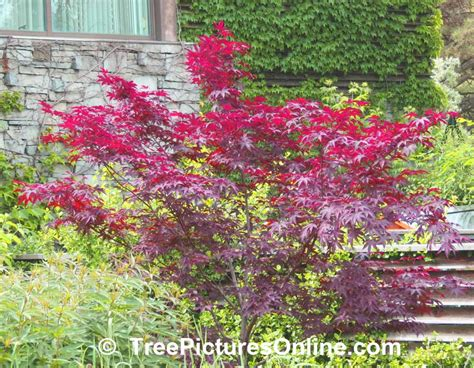 types of maple trees trees pictures photos images of tree types treepicturesonline