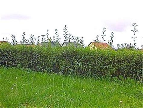 liguster stecklinge ziehen ligusterhecken liguster selber vermehren ligustrum vulgare atrovirens atrovierens immergr 252 ner