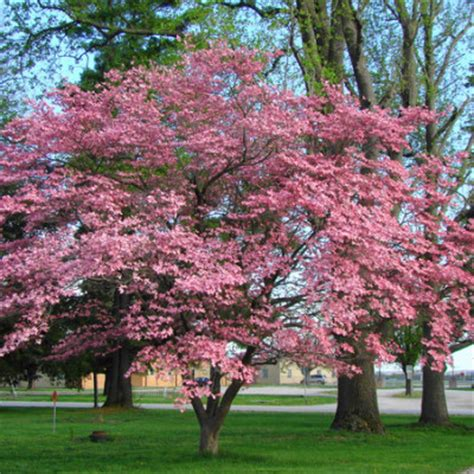 pink dogwood tree care dogwood pink flowering affordable trees