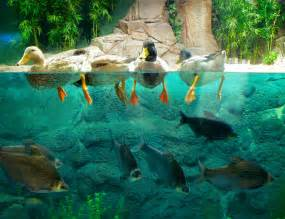faux poisson pour aquarium are ducks contributing to the endemicity of highly pathogenic h5n1 influenza virus in asia