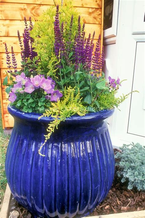 big shiny blue pot container garden with perennial plants salvia canula on wood mulch