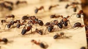 Was Mögen Ameisen Nicht : erkunden unbekannter territorien ameisen neigen zum linksdrall n ~ Orissabook.com Haus und Dekorationen