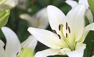 Fleur De Lys Plante : le lys histoire signification entretien le mag de flora ~ Melissatoandfro.com Idées de Décoration