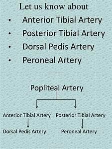 Anterior Tibial Artery  Posterior Tibial Artery  Dorsal