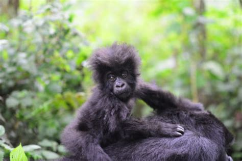 leakey foundation mountain gorilla population passes