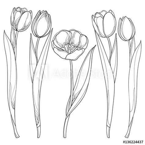 vector set  outline tulips flowers isolated  white