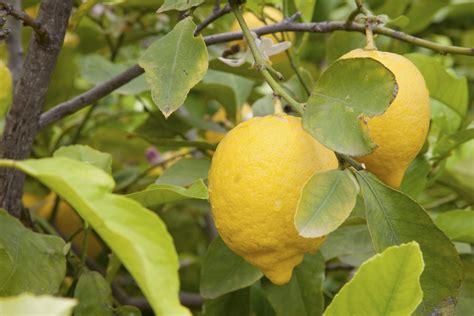 coltivare in vaso come coltivare i limoni in vaso non sprecare