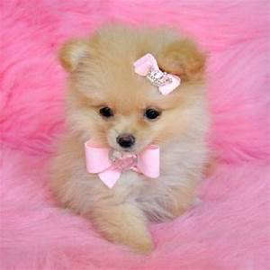 Puppies for Free Adoption | Cute and adorable pomeranian ...