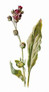 Antique Images  Botanical Art Wildflower Image Digital