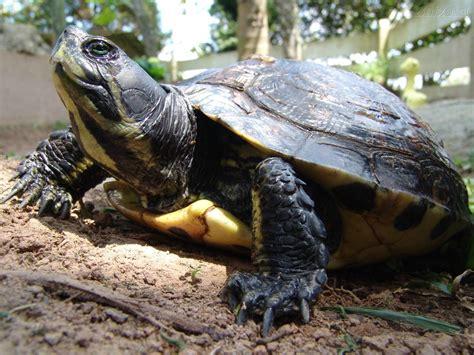 tartaruga terrestre alimentazione quot testudines quot o quot chelonia quot tartaruga