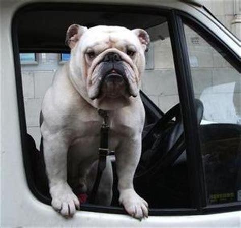 empecher un chien de monter sur le canapé bulldog chien de race identité caractéristiques photo
