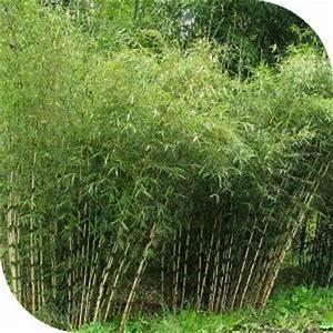Bambou Pour Haie Brise Vue : les 25 meilleures id es de la cat gorie haie bambou sur ~ Premium-room.com Idées de Décoration