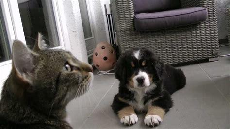 bernese mountain dog puppy berner sennenhund baby