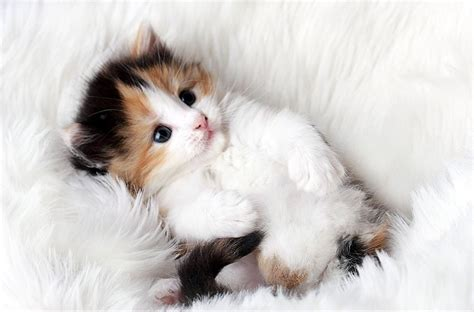 koleksi foto anak kucing imut  cute cantik buat