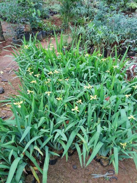 jual tanaman airis tanaman hias bunga airis tanaman