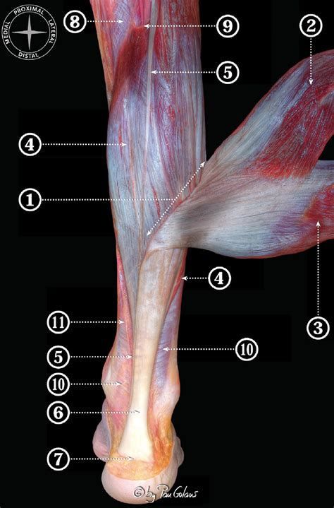 muscular dissection   leg  show  components