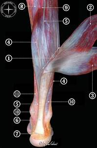 Muscular Dissection Of The Leg To Show The Components Of The Triceps