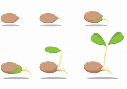 Seed Growing Clipart Semilla Vectors Tejocote Graphics