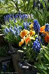 purple and orange flowers of spring!!!! so pretty | green purple and orange flower garden