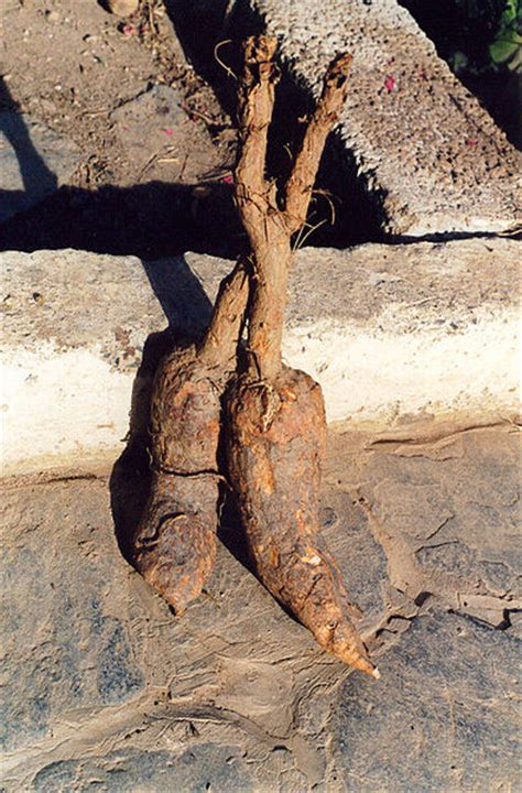 mandrake real fantastically wrong the murderous plant that grows from the blood of hanged men wired