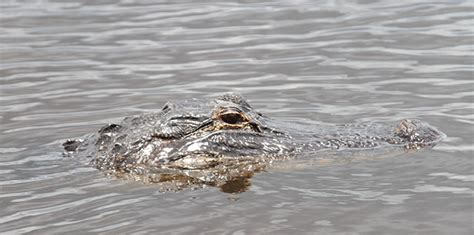 Everglades Boat Tours Alligators by Alligators You Will Encounter On An Everglades Airboat Tour