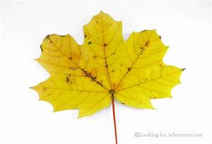 Single Yellow Fall Autumn Leaf with White background in ...