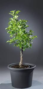 Großen Apfelbaum Kaufen : zwergapfel malus jetzt g nstig online kaufen bei ~ Lizthompson.info Haus und Dekorationen