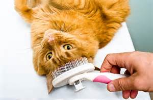how to groom a cat 4 tips to manage shedding cat and other pet friendly
