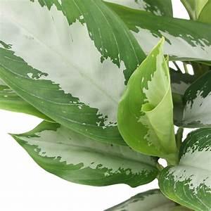 Große Zimmerpflanzen Kaufen : zimmerpflanzen mit gro e bl tter kaufen 123zimmerpflanzen ~ Frokenaadalensverden.com Haus und Dekorationen