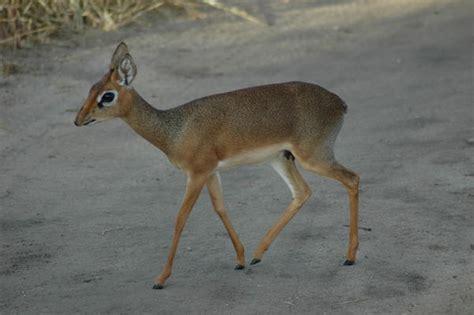 dik dik antilope tarangire np photo