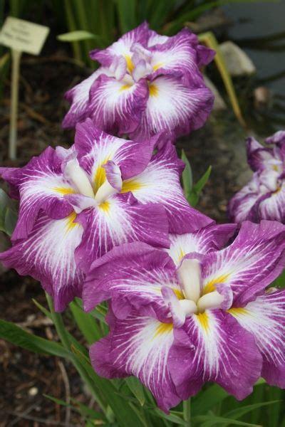 25 best ideas about iris for sale on iris