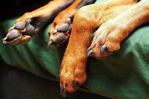 pourquoi mon chien se leche les pattes sans arret