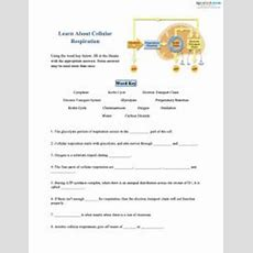 Cellular Respiration Worksheets For Middle School Lovetoknow