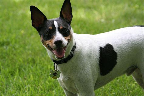 Filerat Terrier Head Jpg Wikimedia Commons