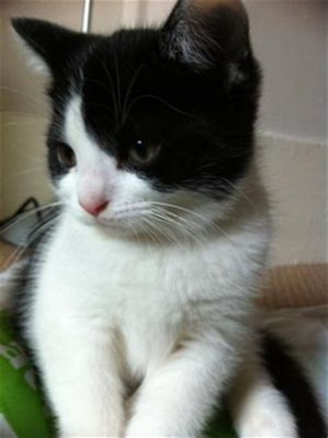 can cats see color or black and white black and white tuxedo kitten named