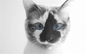 Funny cat with blue eyes wallpapers and images ...